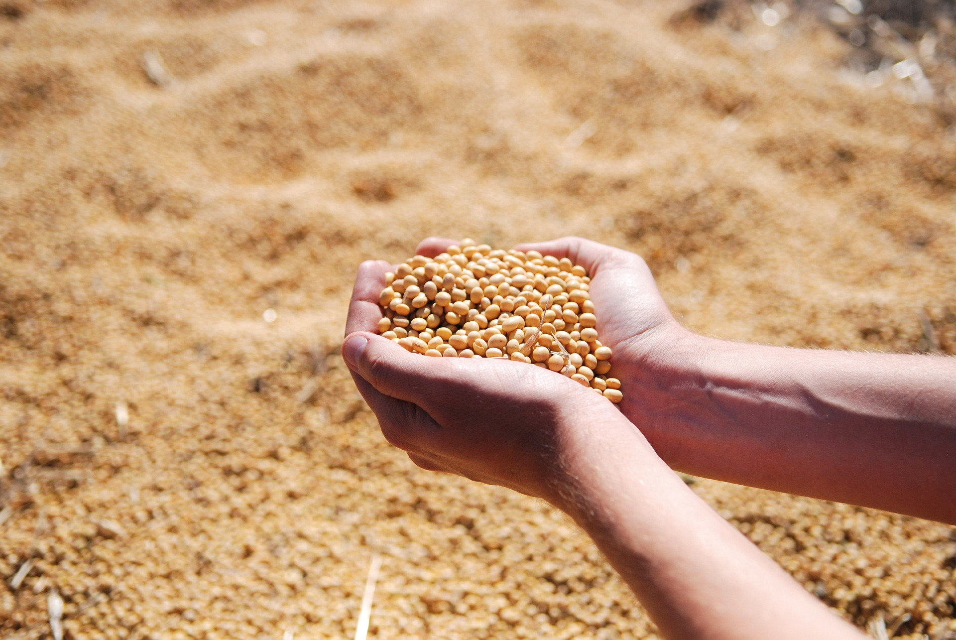 soybean-1831703_1920